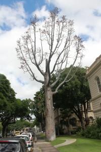 kauritree