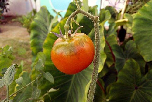 Red tomato on a vine in Hale Hilinai Garden.